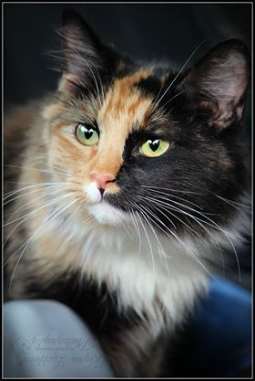 cat for adoption cute calico cats near atwater ca petfinder