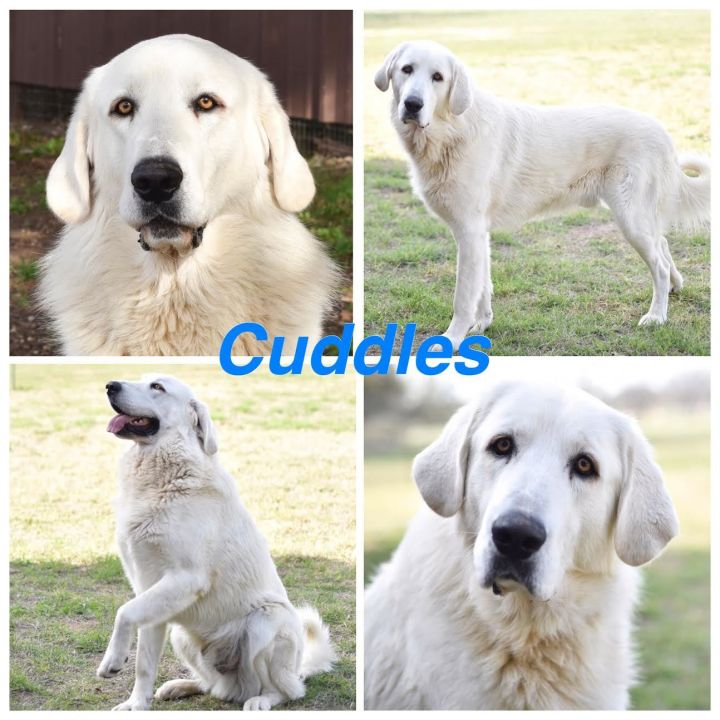 Cuddles, an adopted Great Pyrenees Mix in Mason, TX