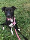 Labrador Retriever Dog: Frick