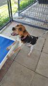 Beagle Dog: Storie