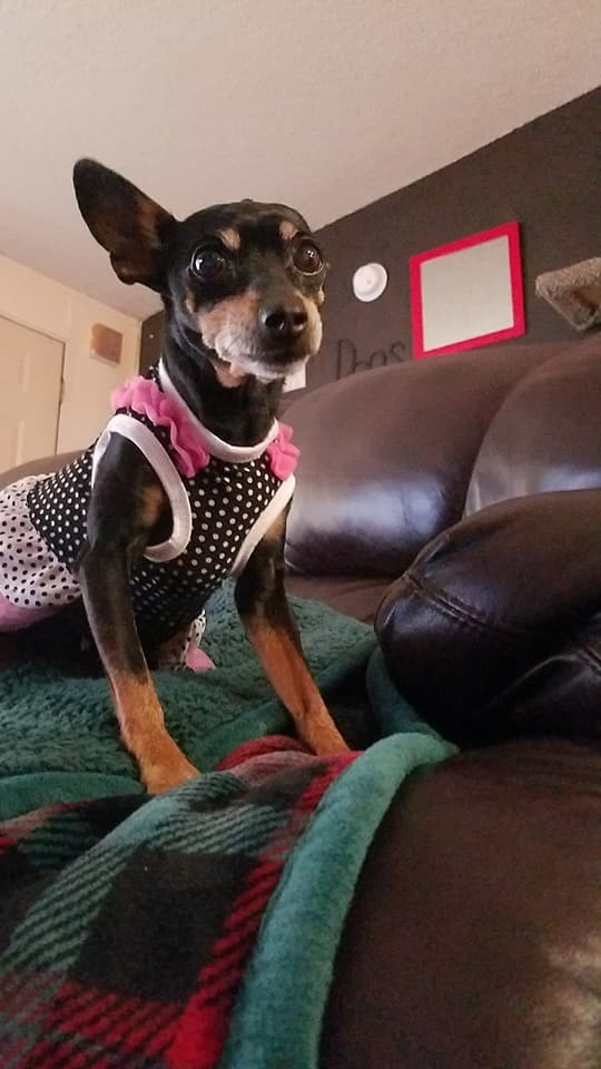 Amelia, an adopted Miniature Pinscher in Fort Collins, CO