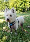 West Highland White Terrier Westie Dog: JOSIE