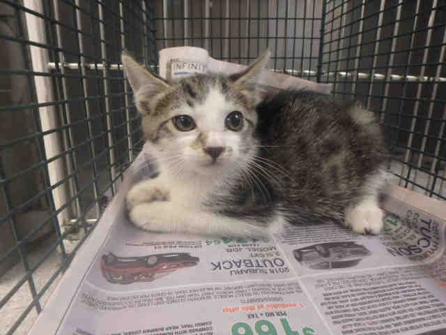 Cat For Adoption A1794145 Near Los Angeles Ca Petfinder
