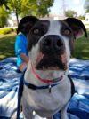 Boxer Dog: Ellie