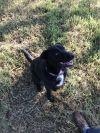 Labrador Retriever Dog: Titan and Gracie