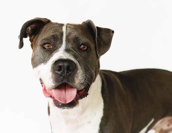 Buddy Guy, an adopted American Staffordshire Terrier & Pit Bull Terrier Mix in Burbank, CA