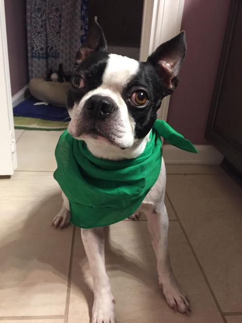 Dog For Adoption Tucker A Boston Terrier In Charlotte Nc Petfinder