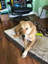 Canaan Dog Dog: Klay