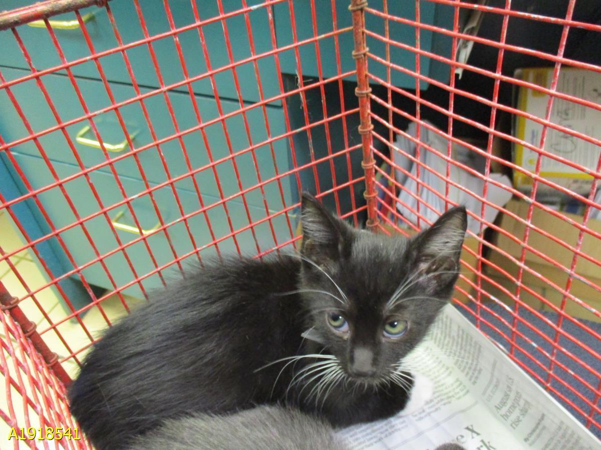 Cat For Adoption Nico Near West Palm Beach Fl Petfinder