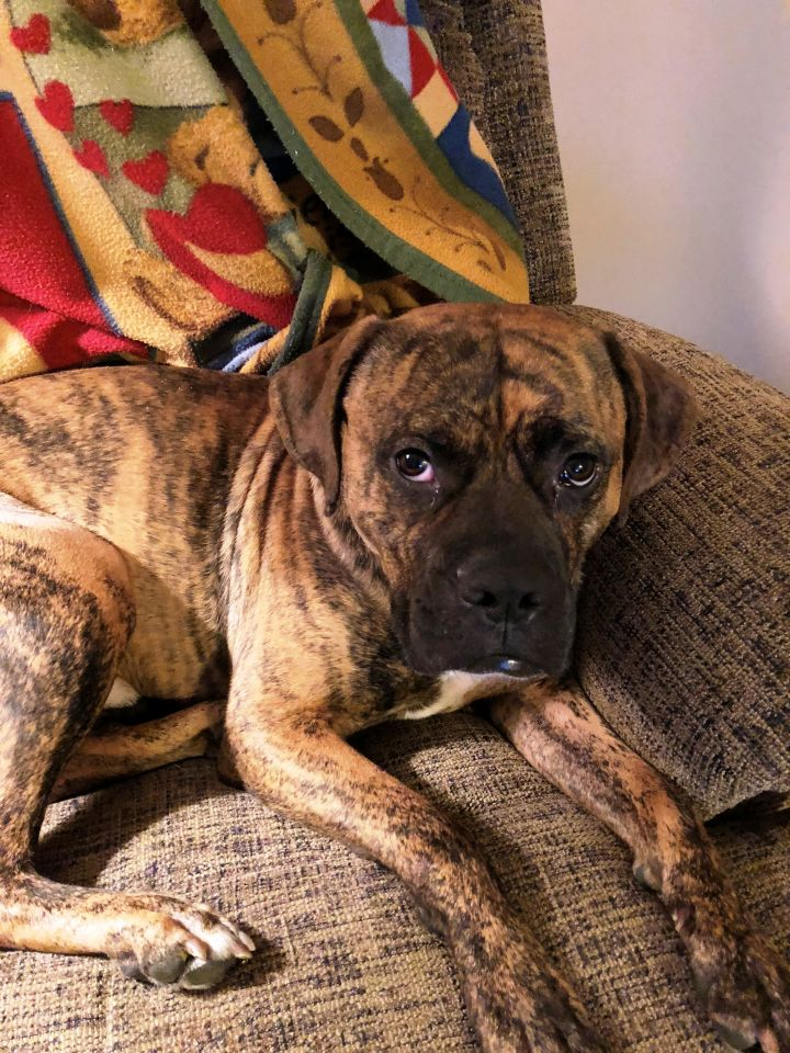 Dog for adoption - Toby Jim, a Boxer Mix in Dayton, OH | Petfinder