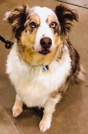 Dog for adoption - ARPH #14010 - Allie, an Australian Shepherd in