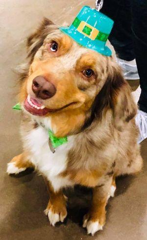 Dog for adoption - ARPH #14011 - Cash, an Australian