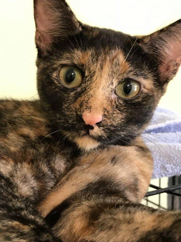Shelly, an adoptable Domestic Short Hair in Pompano Beach, FL