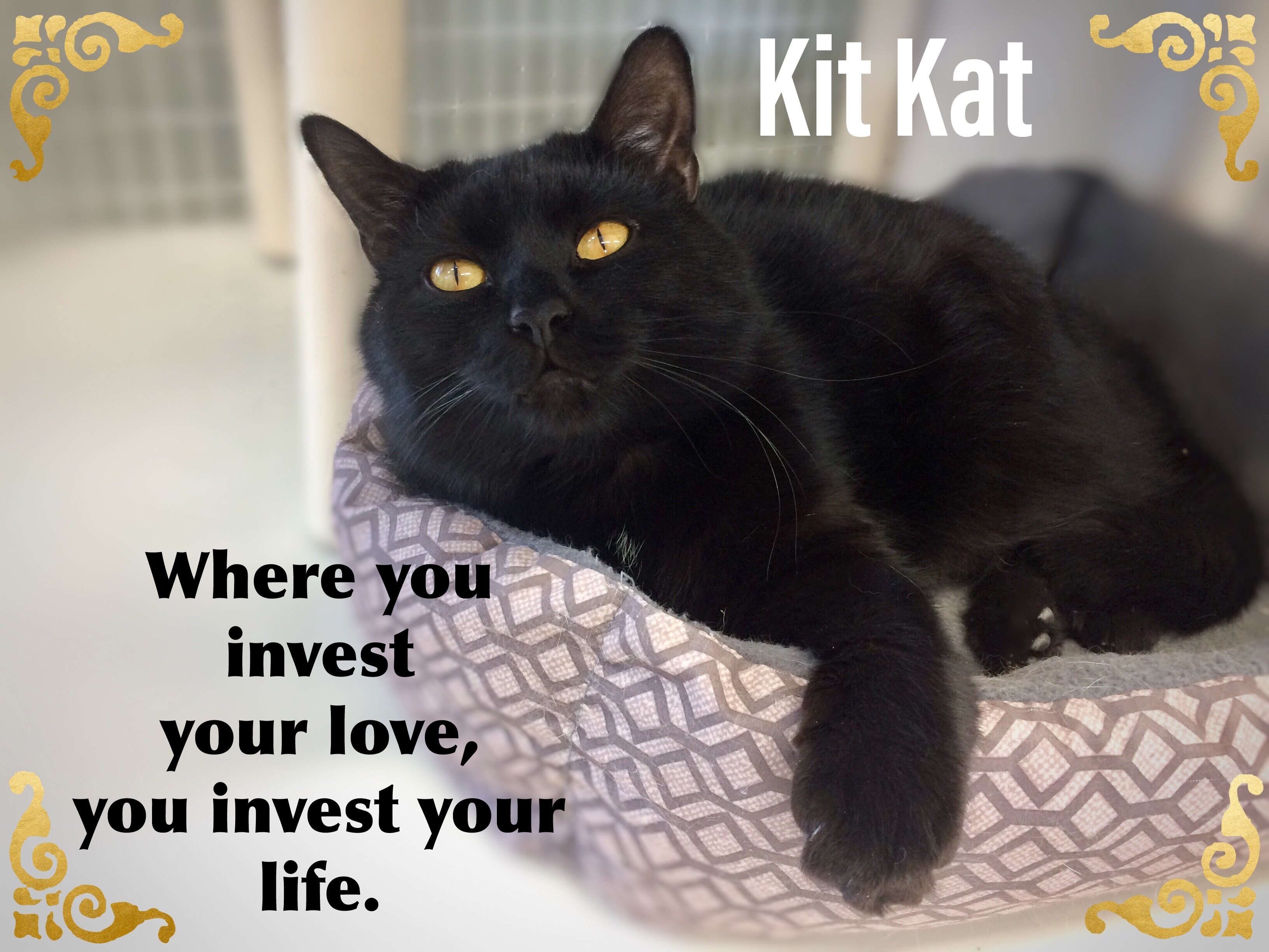 Cat for Adoption – Kit-Kat, near Fort Kent, ME | Petfinder