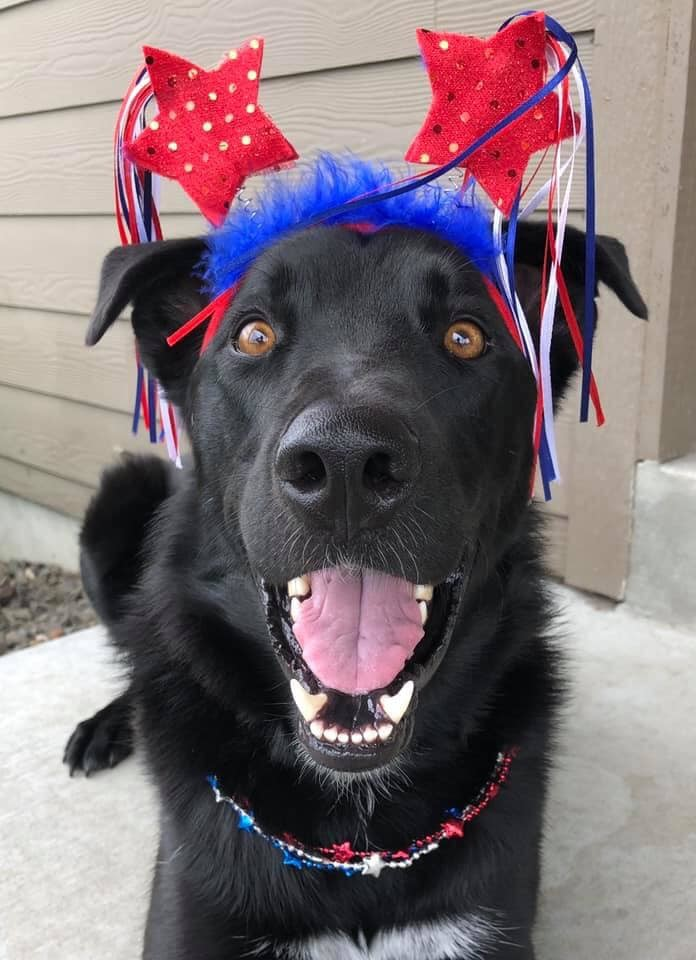 Dapper, an adoptable Border Collie & German Shepherd Dog Mix in West Richland, WA