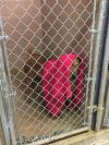 Labrador Retriever Dog: Opie