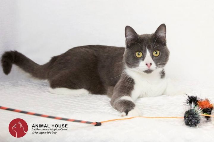 Phil, an adopted Domestic Short Hair in St. Louis, MO