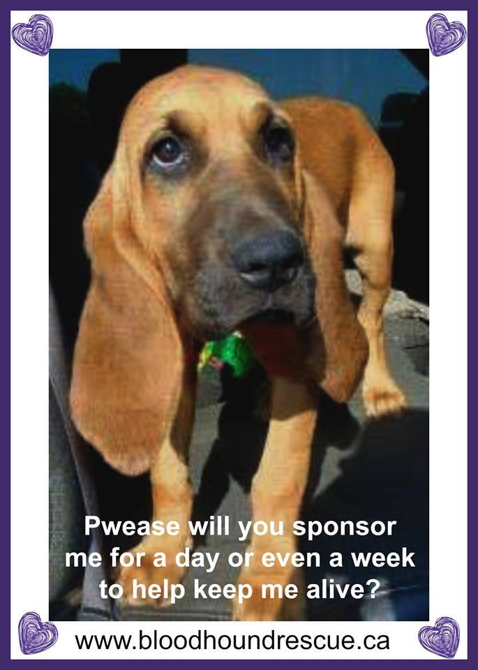 Peanut Adopted, an adoptable Bloodhound in Granite Falls, NC