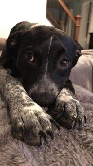 Jack M Pointer Dog