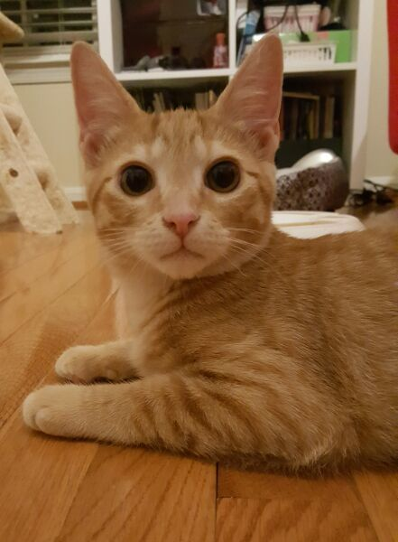 Buster, an adopted Domestic Short Hair in Reston, VA