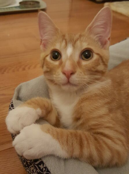 Baxter, an adopted Domestic Short Hair in Reston, VA