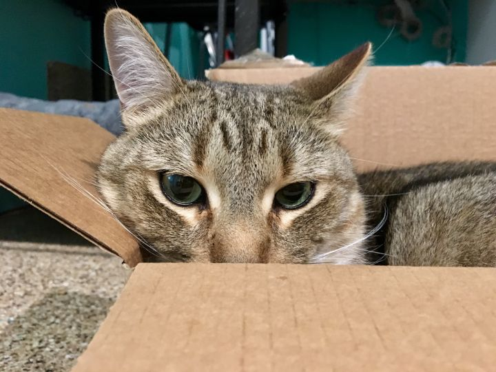 King, an adoptable Tabby in Shoreline, WA