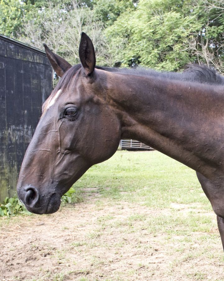 Horse for adoption - Francis the Hanoverian, a Thoroughbred
