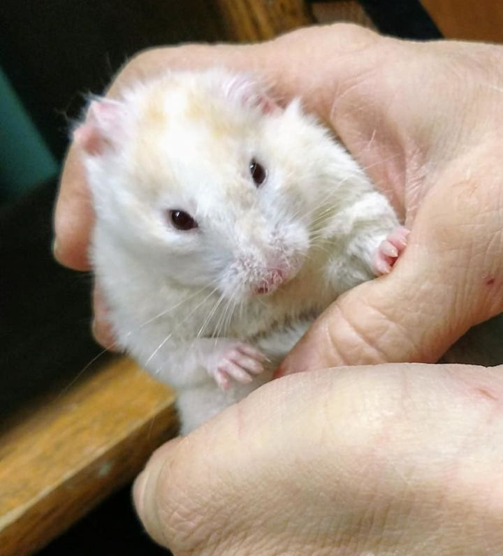 Hamster for adoption - Hamsters, a Hamster & Dwarf Hamster Mix in