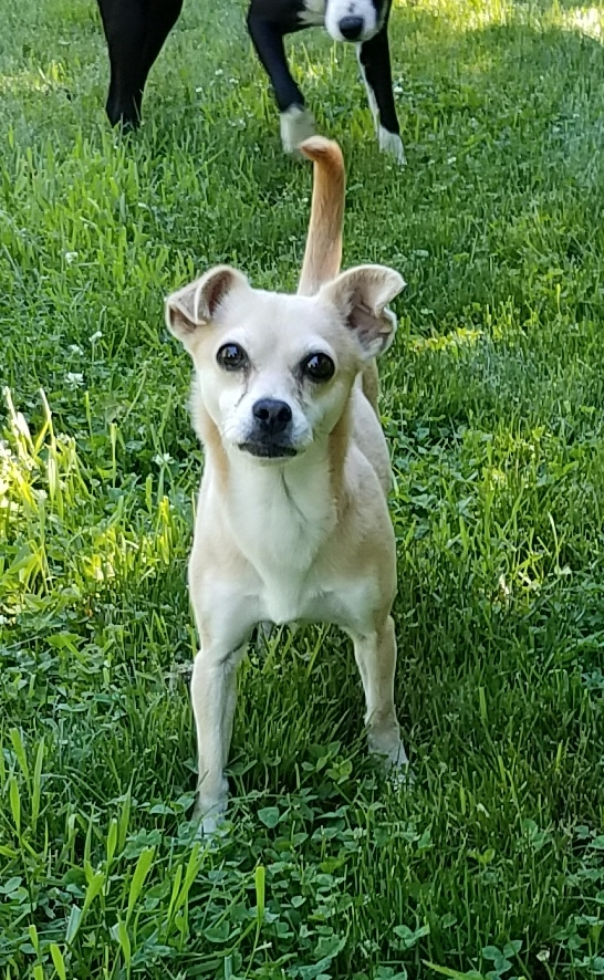 Sandy, an adopted Chihuahua Mix in Yorkville, IL