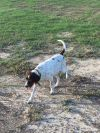 German Shorthaired Pointer Dog: june (corpus christi)