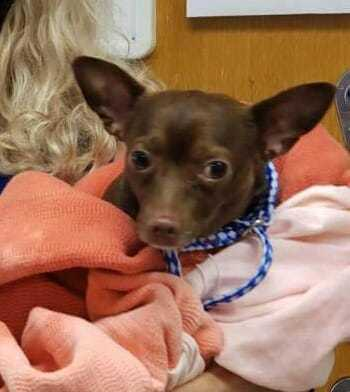 Max, an adoptable Miniature Pinscher & Chihuahua Mix in Chicago, IL
