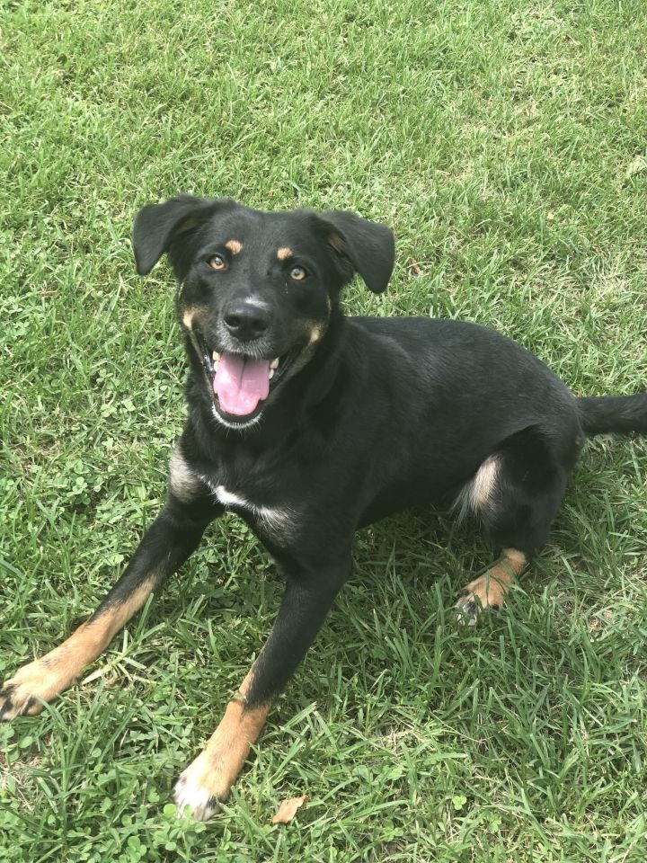 Penny-SO SMART!!~URGENT!!, an adopted Border Collie & Shepherd Mix in Franklin, KY