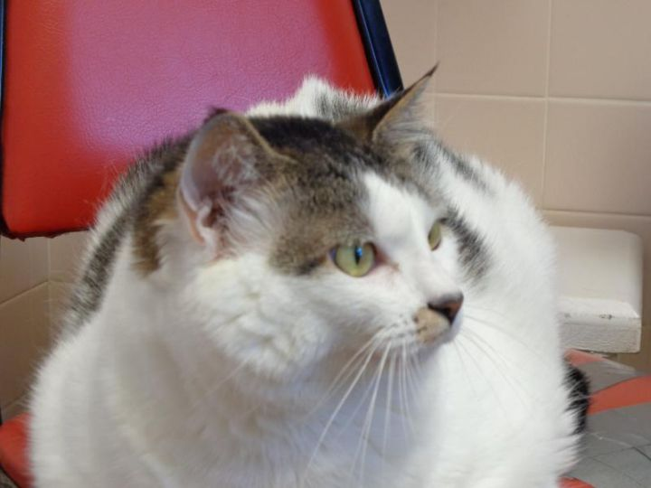 COW GIRL, an adopted Domestic Short Hair in Dixon, IL