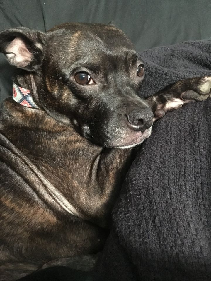 Dog for adoption - Shelby, a Boston Terrier & Pit Bull Terrier Mix