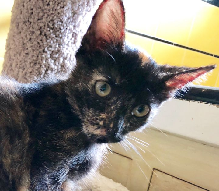 Tumbilena, an adoptable Tortoiseshell & Domestic Short Hair Mix in Mission Viejo, CA