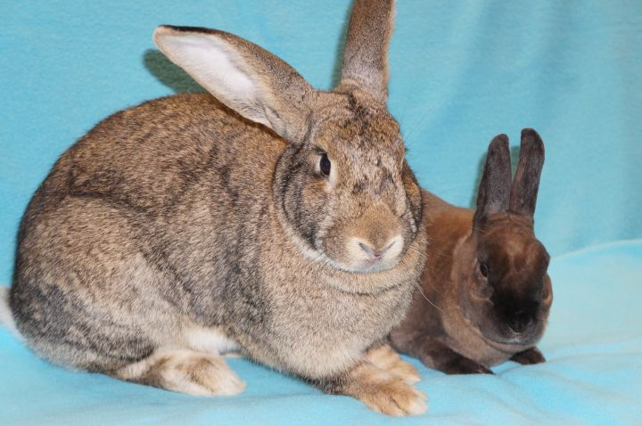 Madeline (& Graham), an adopted Flemish Giant in Madison, WI