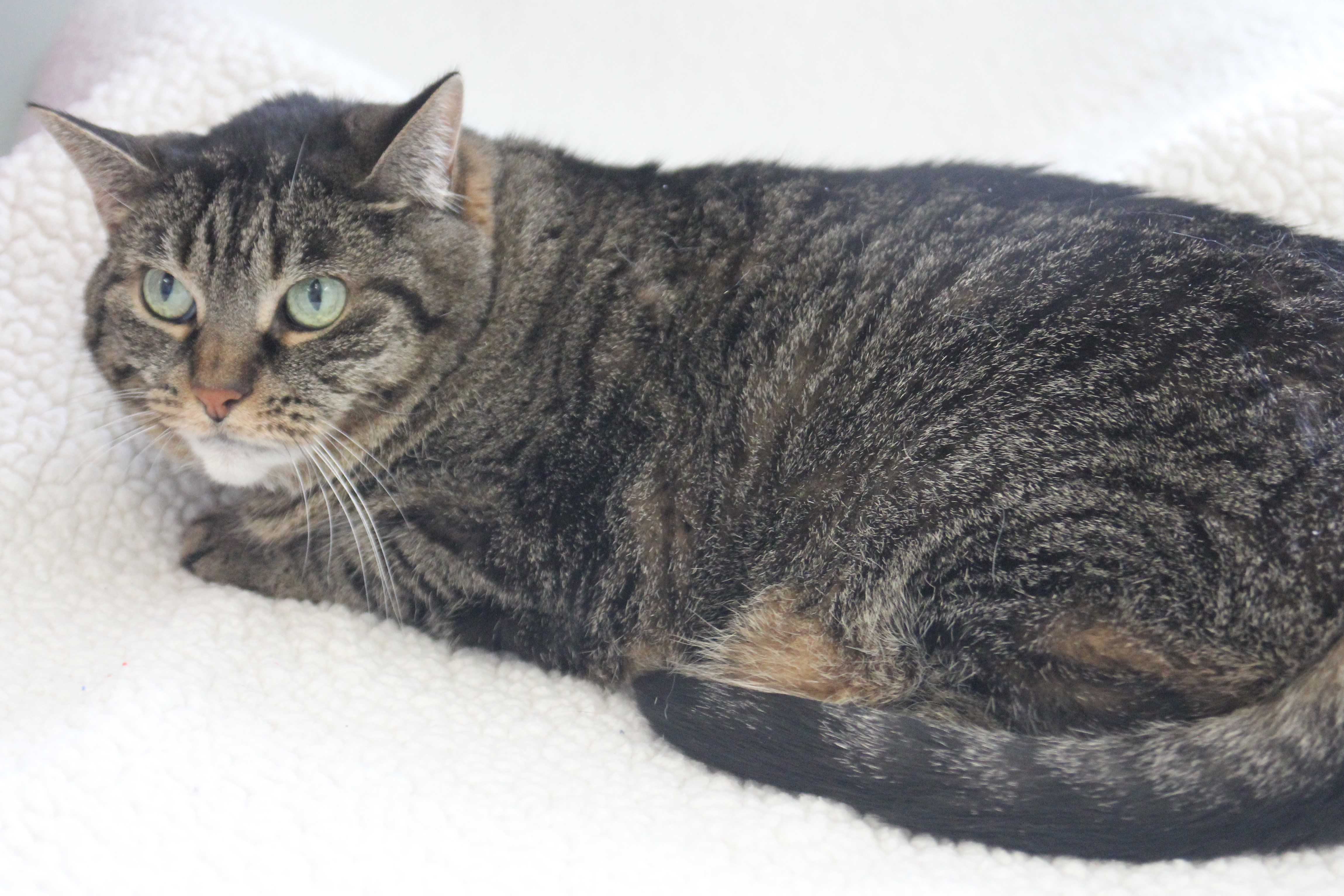 Cat For Adoption Esther Near Big Rapids Mi Petfinder