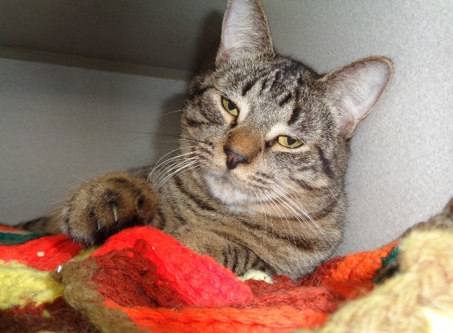 cat for adoption swedish meatball near delhi ny petfinder