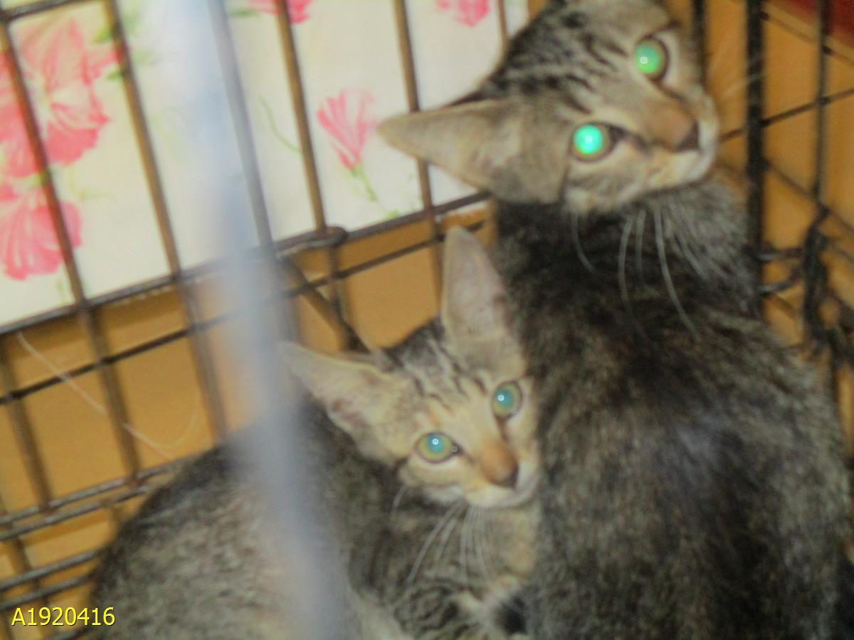 Cat For Adoption A1920416 Near West Palm Beach Fl Petfinder
