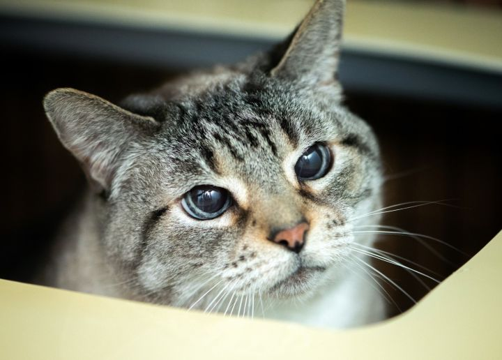 Maddie, an adoptable American Shorthair in Shoreline, WA