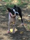 Boston Terrier Dog: Lyla Jane NC