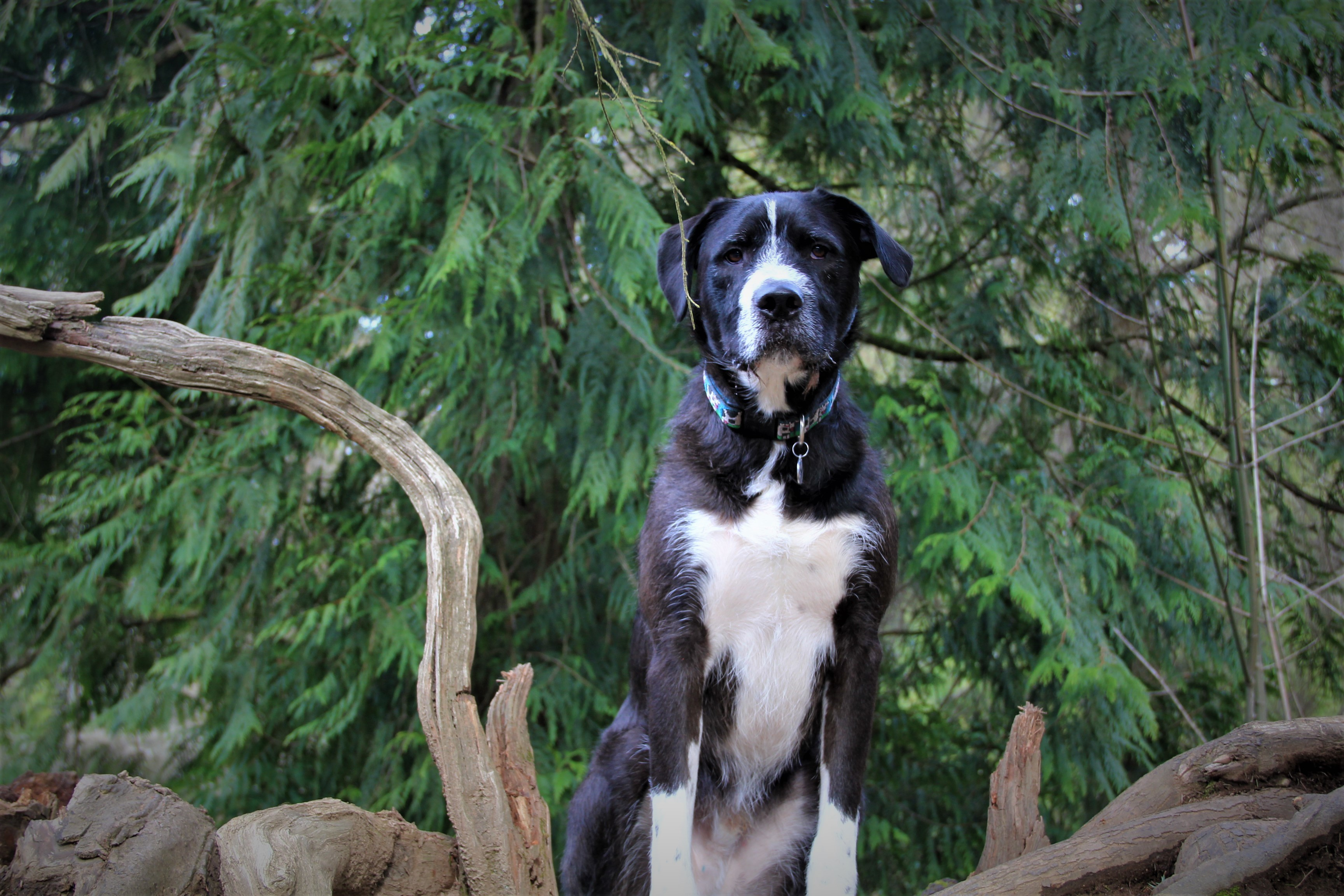Dog For Adoption Rocky A German Wirehaired Pointer Labrador