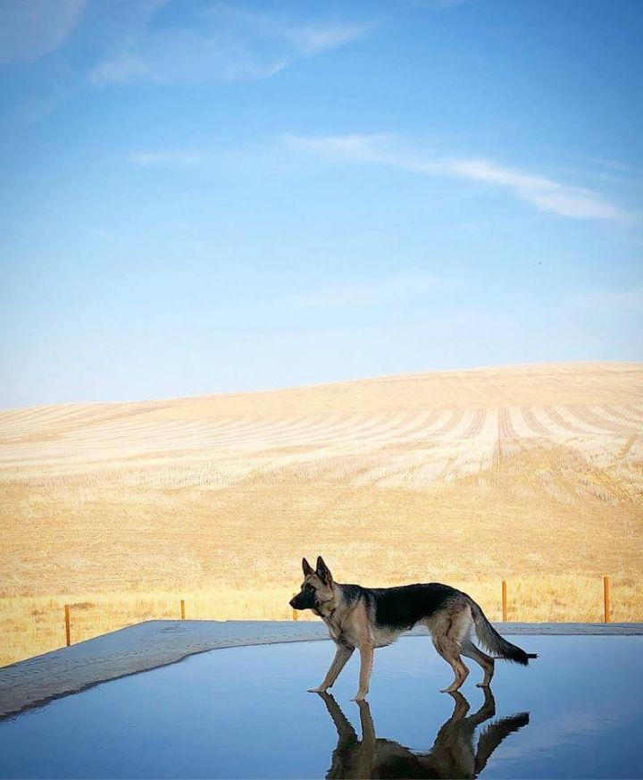 Azar, an adoptable German Shepherd Dog in Kennewick, WA