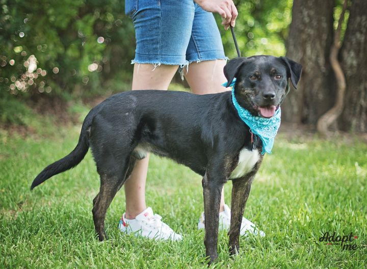 Roady, an adopted Labrador Retriever Mix in Kingwood, TX