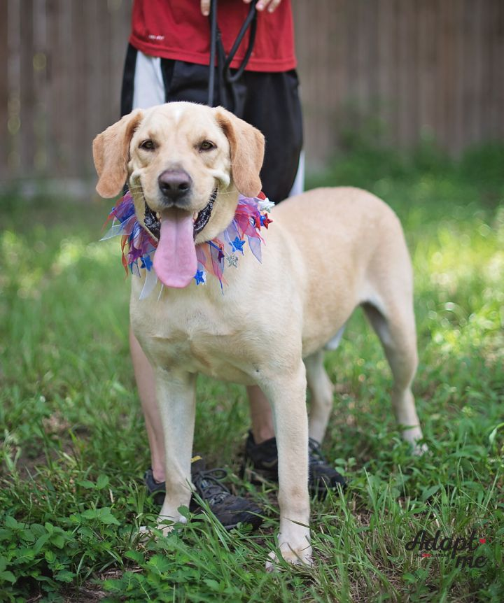 Cousteau, an adopted Labrador Retriever in Kingwood, TX