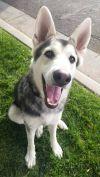 Alaskan Malamute Dog: Balto