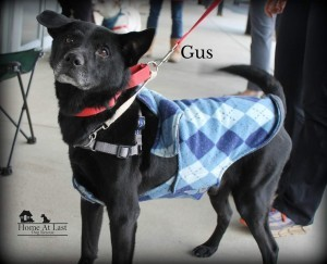 Dog For Adoption Gus A Labrador Retriever Mix In North Wales Pa