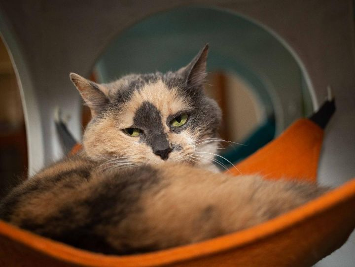 Gracie, an adoptable Dilute Calico in Los Angeles, CA
