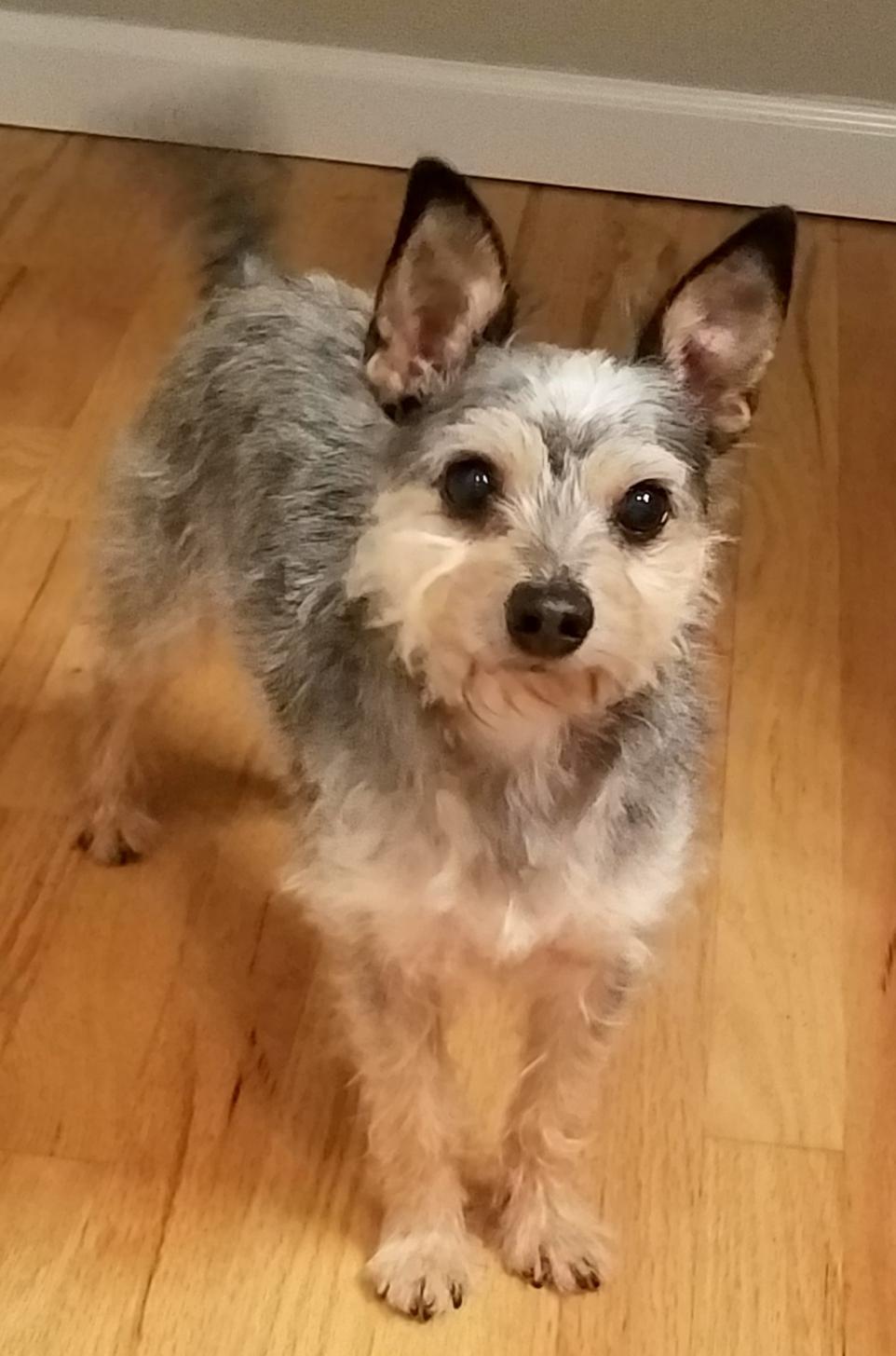 dog for adoption ollie yorkie mix near seattle wa petfinder
