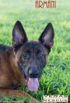 German Shepherd Dog Dog: Armani